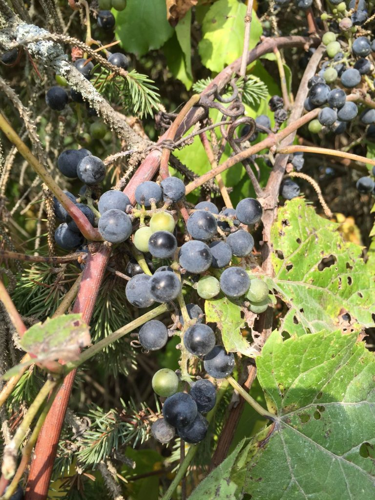 Wild grapes along the banks of the Housatonic